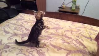бенгальский котенок(девочка)