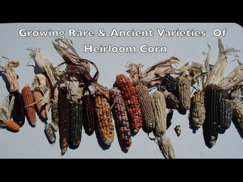 Growing Rare & Ancient Varieties of Heirloom Corn. Pawnee Eagle Corn