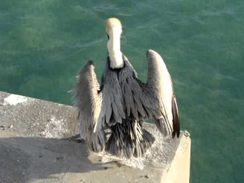Brown Pelican: Sun drying before take off...