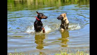 Doberman And German Shepherd