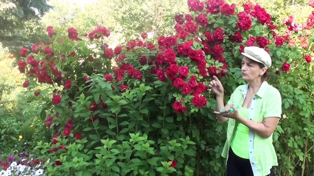 Вьющиеся розы Посадка и уход виды и сорта