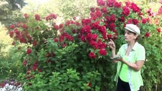 видео Перерождается ли роза в шиповник?
