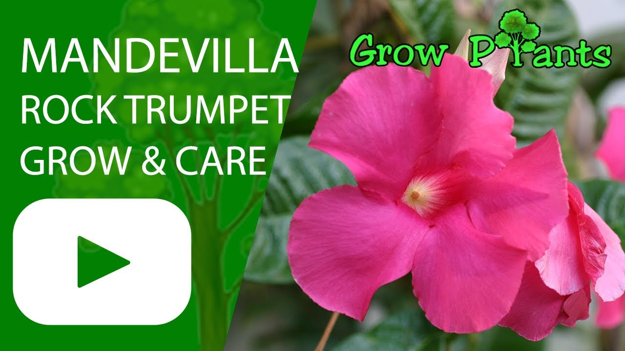 Mandevilla Rock Trumpet Growing And Care Youtube