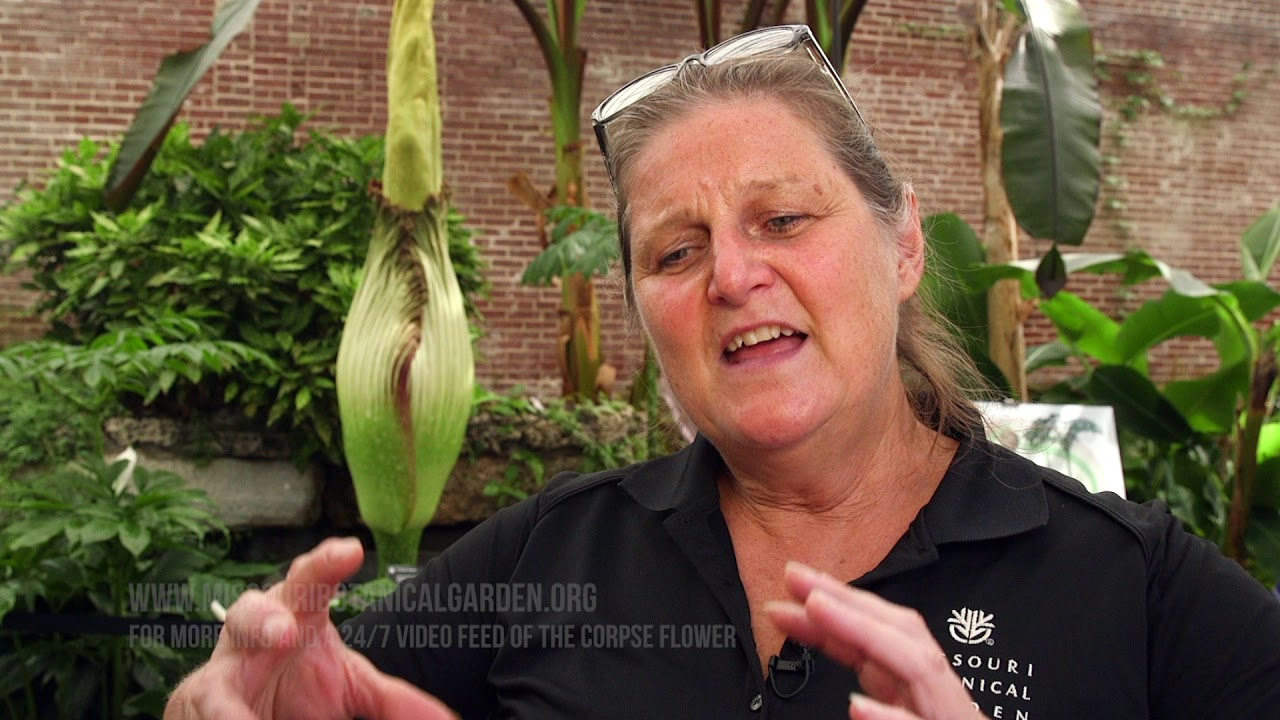 Corpse Flower To Bloom At Mobot Youtube