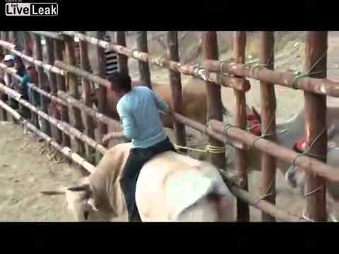 Huấn luyện viên bị con bò húc sừng vào mặt