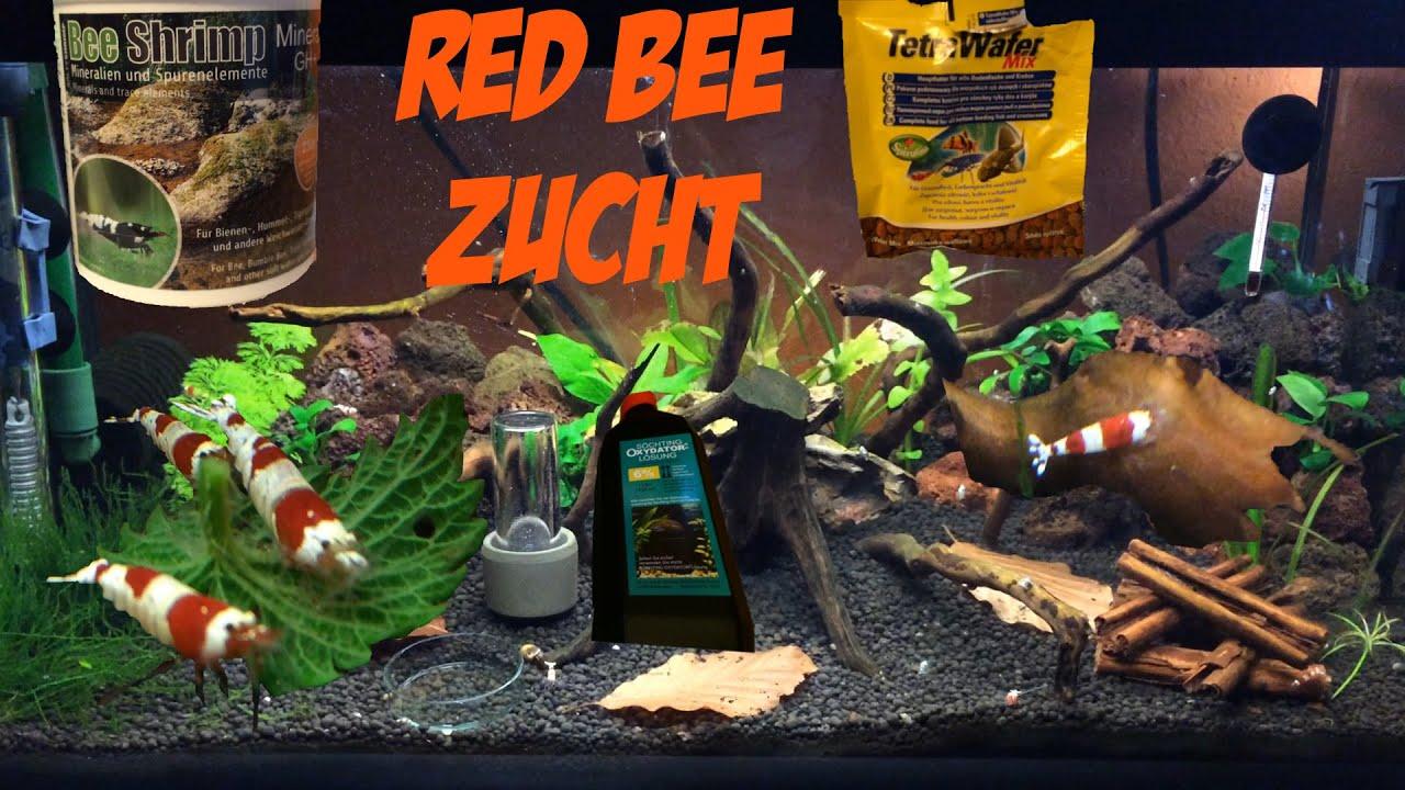 red bee zucht red bees grad a s set up garnelen zucht zwerggarnelen aquarium youtube. Black Bedroom Furniture Sets. Home Design Ideas