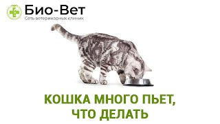 Кошка много пьет, что делать. Ветеринарная клиника Био-Вет.