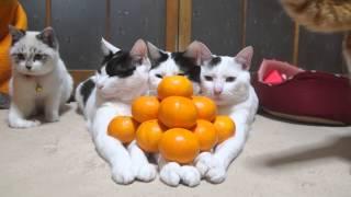のせ猫 x みかんピラミッド Mandarin orange pyramid thumbnail