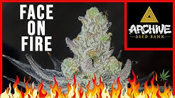 STRAIN REVIEW: 'Face on Fire' (Archive Seed Bank)