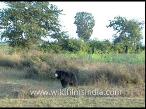 sloth-bear-in-central-indian-forests!