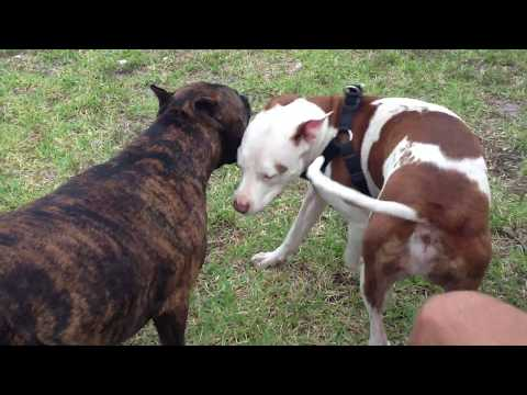 lil dog attacking a pitbull not a good idea!!!