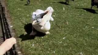 PELICAN WITHOUT WARNING - DEVOURS A PIGEON IN ST JAMES PARK LONDON (north west side)