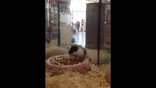 Hamster back flip FAIL!