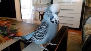 Говорящий #попугай Оскар