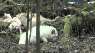 Рейтинг Баженова самые опасные животные России часть14