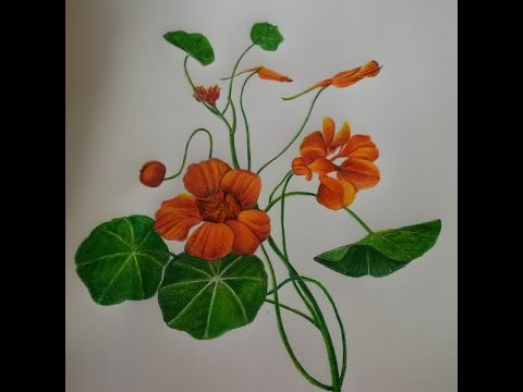 Nasturtium - Colored Pencil Progress, Page in The Art of Nature Coloring Book