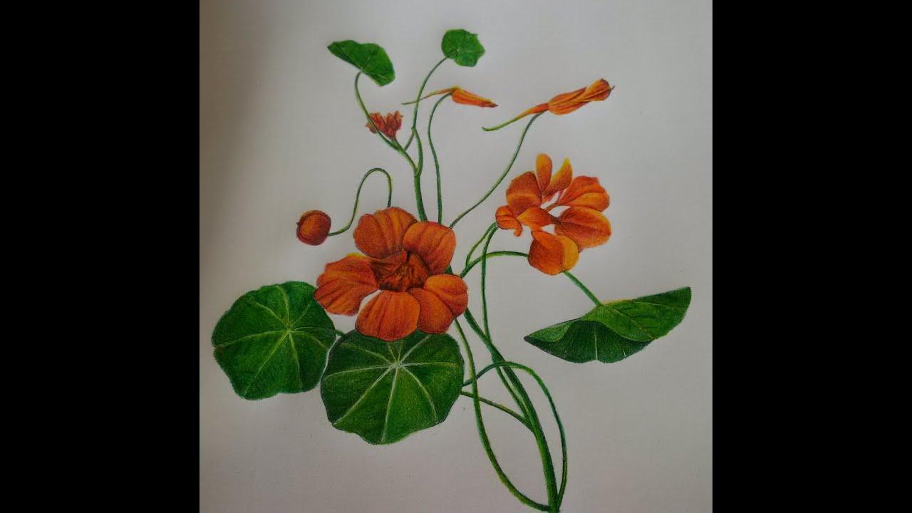 Nasturtium - Colored Pencil Progress Page In Art Of Nature Coloring Book