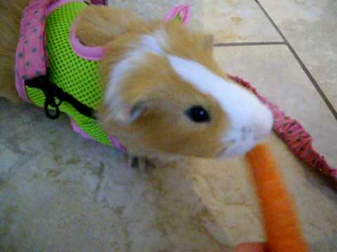 My cute little guinea pig buddy going for a walk youtube publicscrutiny Image collections