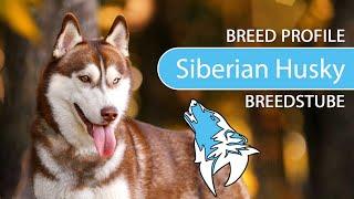 Siberian Husky Breed, Temperament & Training
