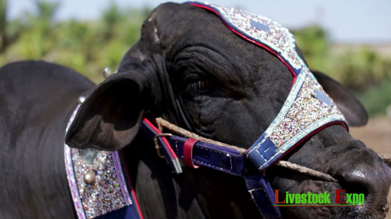 GIANT Black Beauty from Puri Cattle Farm | Contact: 0321-9254875