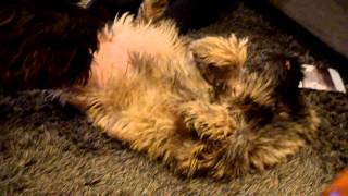 Cairn Terrier Foot Massage And Itching On The Back