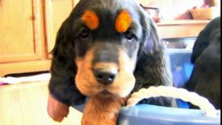 Dog Breeds  Gordon Setter. Dogs 101 Animal Planet