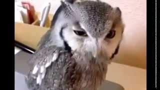 Необычный крик совы