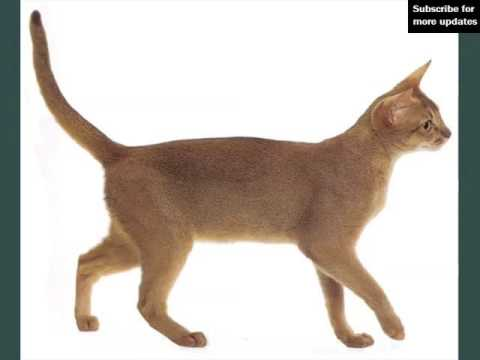 Red Abyssinian Cat | Pictures Of Cat Breed
