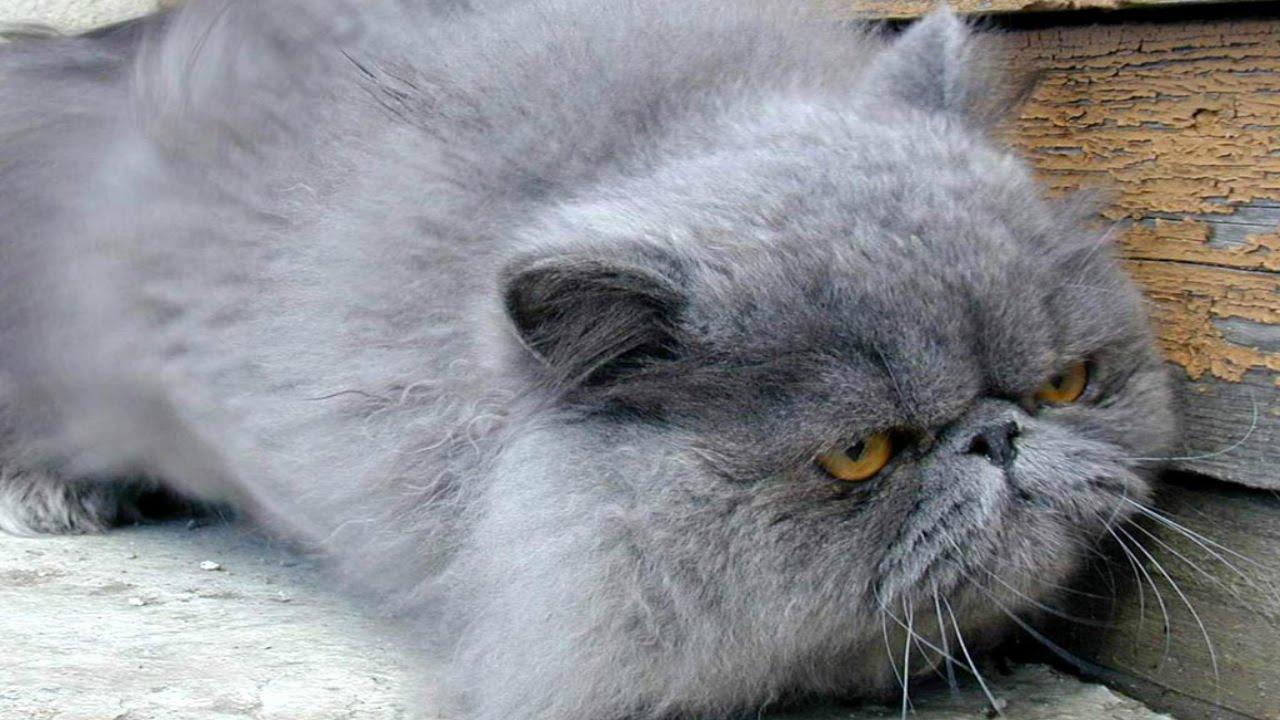 Персидская Кошка, Породы кошек, описание, уход - YouTube
