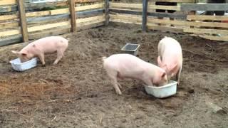 Donny & Lana' Pig FARM