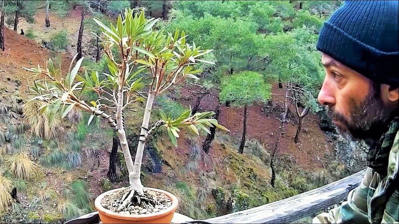 How To Create Bonsai Tree From Collected Material Nerium Oleander Yamadori Styling Youtube