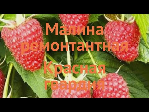 Малина ремонтантная Красная гвардия 🌿 обзор: как сажать, саженцы малины Красная гвардия