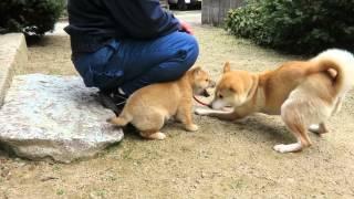反抗期をむかえた山陰柴犬の子犬.