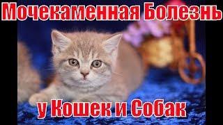 Шотландские кошки / Мочекаменная болезнь у кошек и собак.