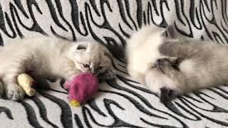 video 06 03 18 03 31 шотландские котята, продаются в любящие руки. сайт koshka-mos.jimdo.com