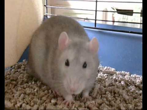 Qui a dit que le rat domestique est sale la toilette de lally youtube - Odeur que les rats detestent ...