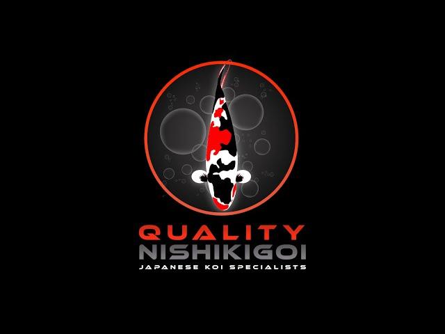 QUALITY NISHIKIGOI UPDATE OCTOBER 2021