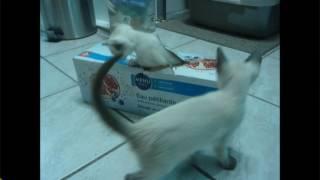 5 Chatons Siamois + boîtes de cartons | Siamois & Moi