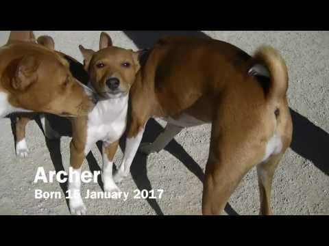 Caesar Meets the Other Basenji Puppies - Ad Hoc Basenji Meetup April 2017