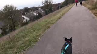 Long boarding downhill with the dog skatejoring