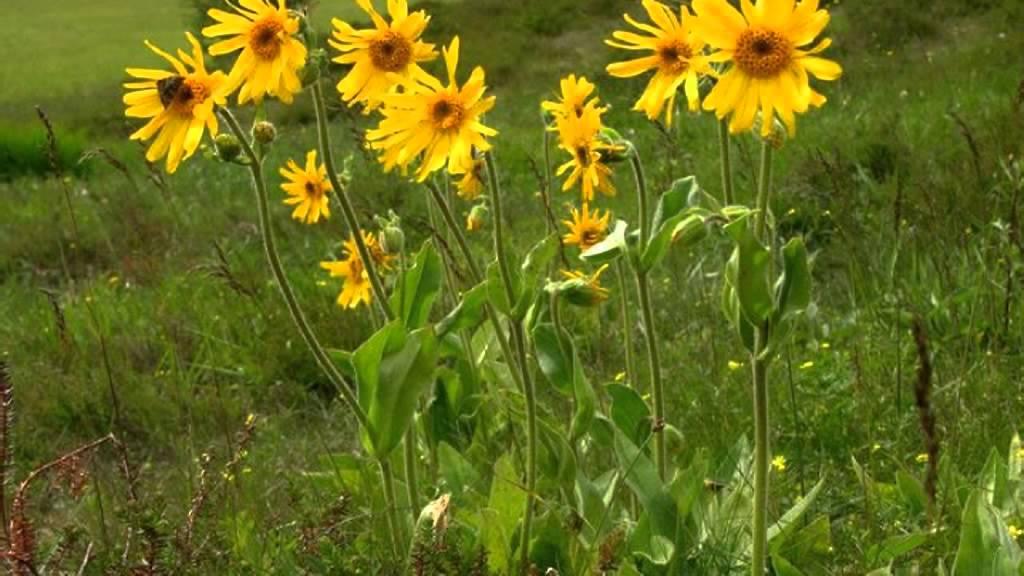 arnica plantas medicinales youtube