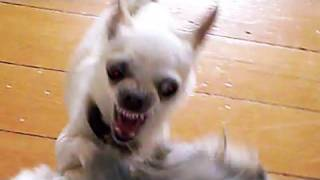 Crazy Killer Chihuahua Attacks Bigger Dog
