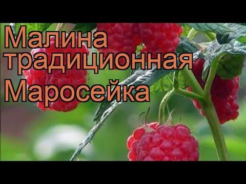 Малина традиционная Маросейка (rubus maroseika) 🌿 обзор: как сажать, саженцы малины Маросейка | традиционная | маросейка | малина | обзор | maroseika | rubus | о