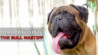 ALL ABOUT THE BULL MASTIFF BREED   FACTS AND INFORMATION   GH DOG TV