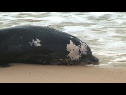 Dead dolphins, diseased seals wash up on US shores