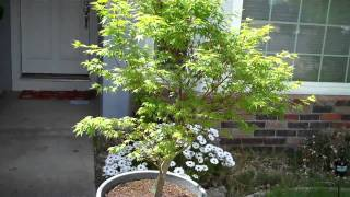How to grow Japanese Maple (Acer Palmatum) in a Pot, Part 2 a month after.mp4