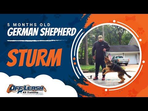 5 m/o German Shepherd Sturm l Off Leash Puppy Obedience l E Collar Training for Puppies