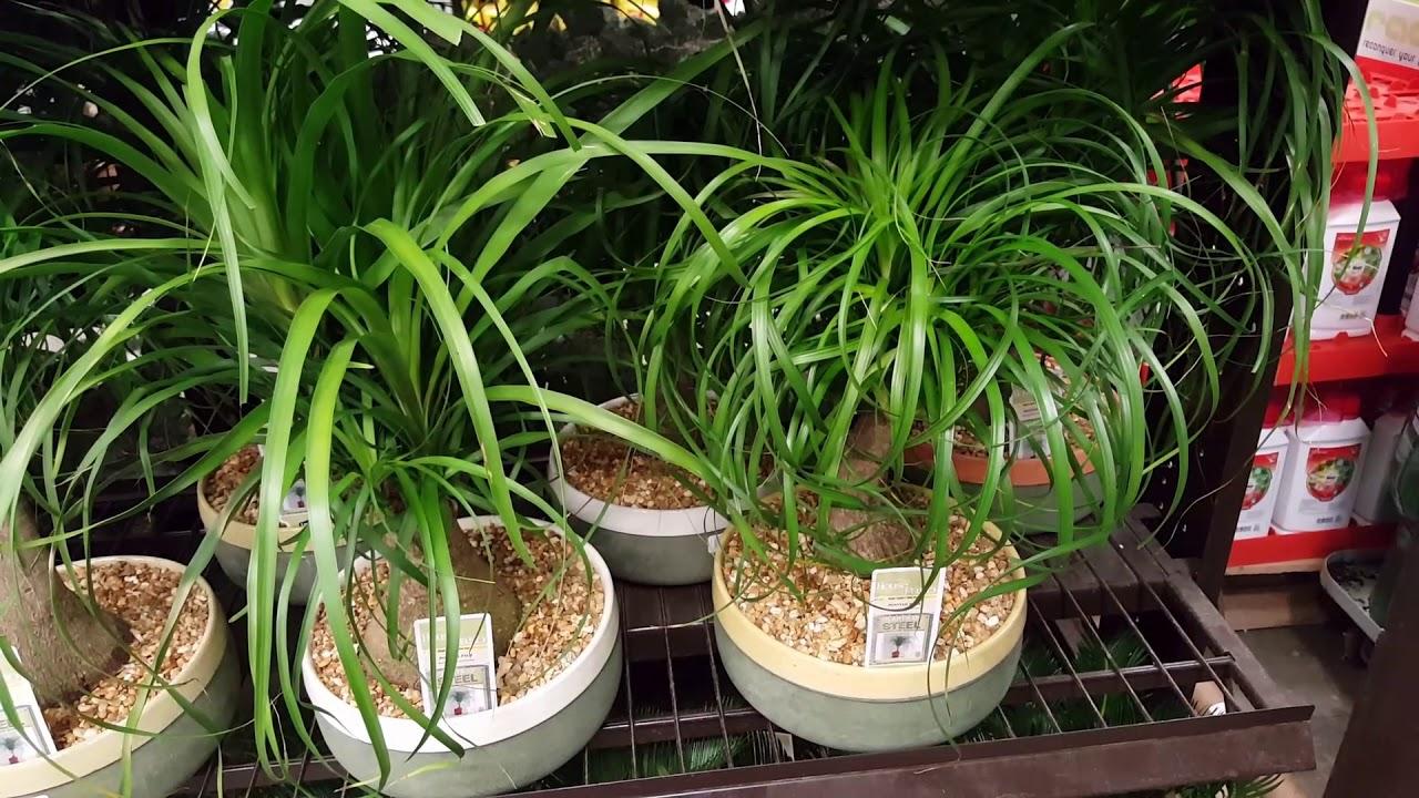 Ponytail Palm Care Donna Joshi