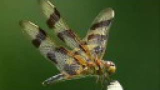 """Dragonflies on """"Gossamer Wings"""""""