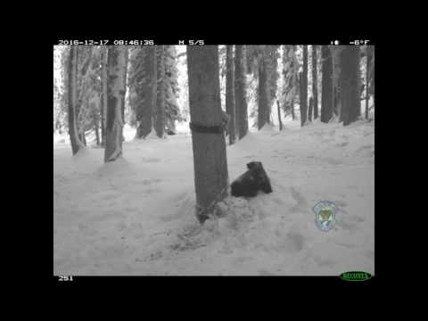 Wolverine and marten caught on camera in Idaho.